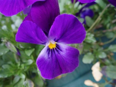 こぼれ咲きビオラ フィオリーナ バイオレット