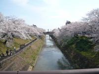 各務原 桜2