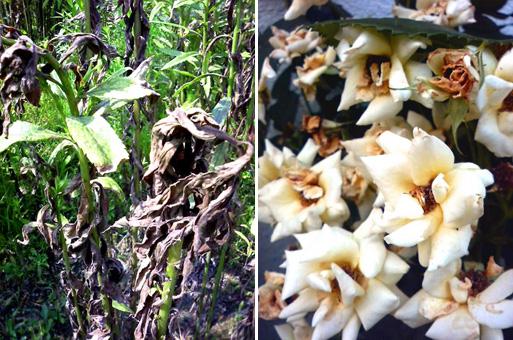 24P10枯れハジメの白花