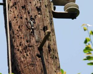 木登りスキンク