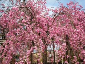 清水寺、春・花見3、枝垂桜