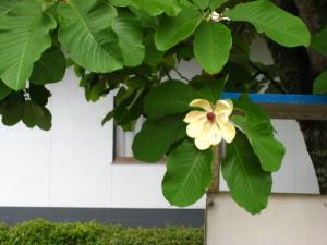 ホオノキ、朴の木1
