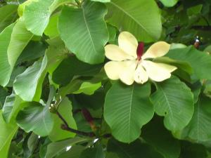 ホオノキ、朴の木2