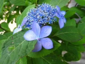 アジサイ、紫陽花3