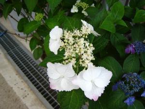 アジサイ、紫陽花4