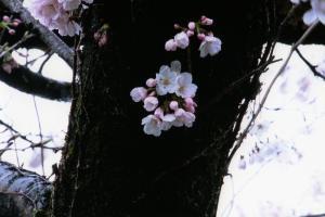 撮彩作品「春2008」、桜