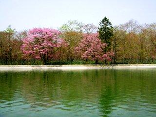 2008-05-02(s)sakura.jpg