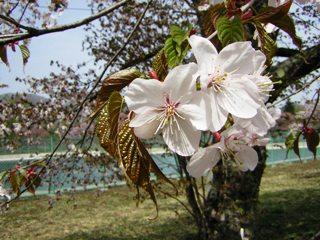 2008-05-02(s)sakura2.jpg