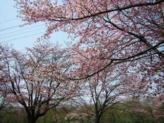 2008-05-02(s)sakura4.jpg