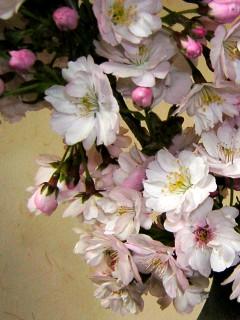 2008-05-11(s)sakura.jpg
