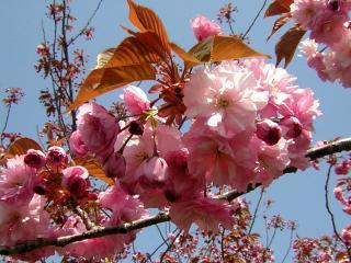 2008-05-17(s)yamazakura.jpg