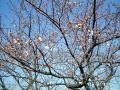 0325桜1
