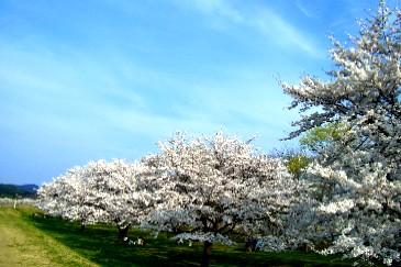 雫石桜名所