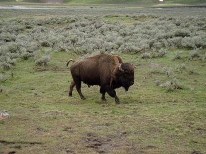 bison_20080612203040.jpg