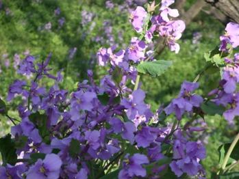 温泉之旅 紫花花