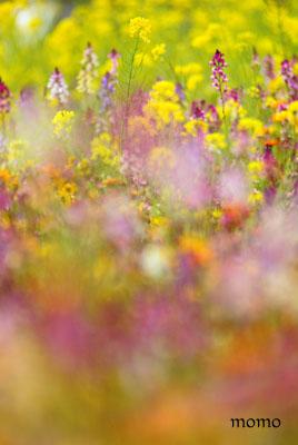 松崎の花畑