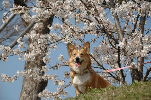 桜と福来ちゃん