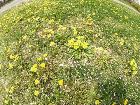 たんぽぽ が 咲き乱れてました。