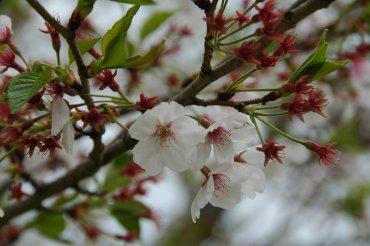 葉桜ながらも、桜の花♪