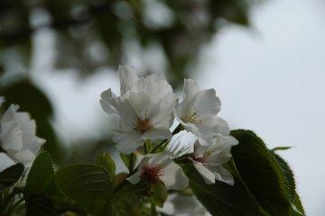 とってもキレイな白い桜