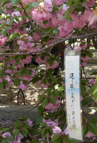 あちこちの桜には短冊が吊るしてあります。