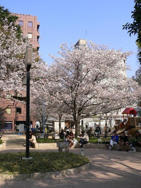 堀江公園の桜です。