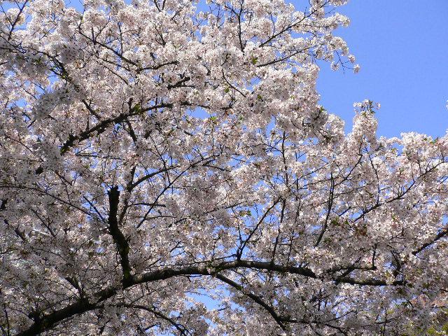 堀江公園の桜です。(その2)