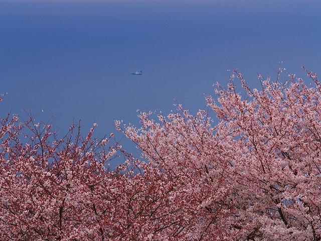 桜と海ー1