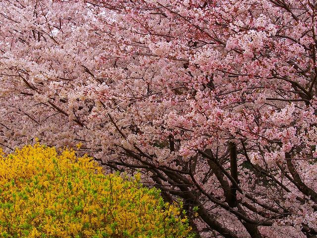 桜とれんぎょう