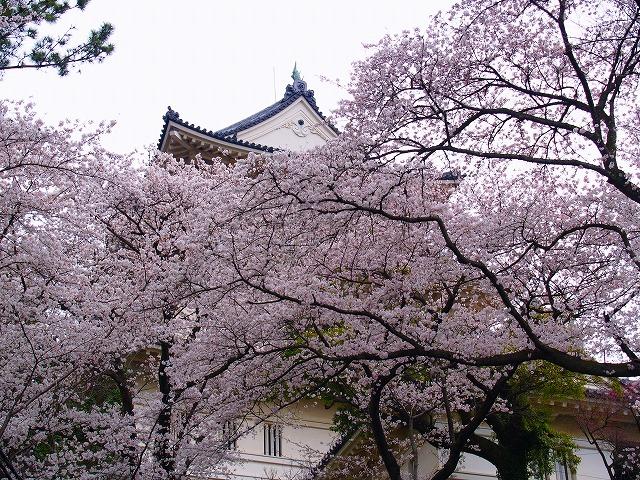 桜と小田原城
