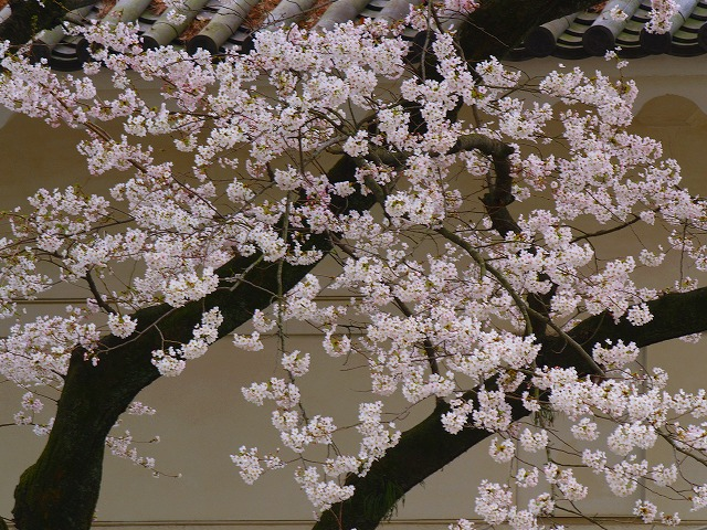 桜と小田原城ー2