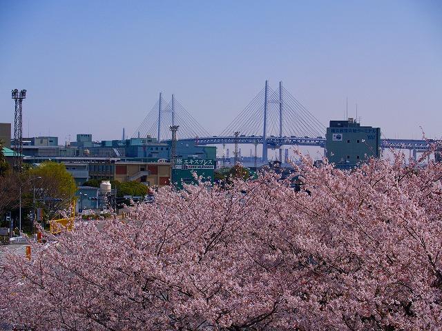 桜とベイブリッジ
