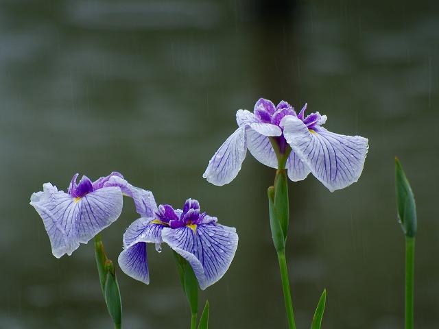 雨にぬれた花ショウブ1