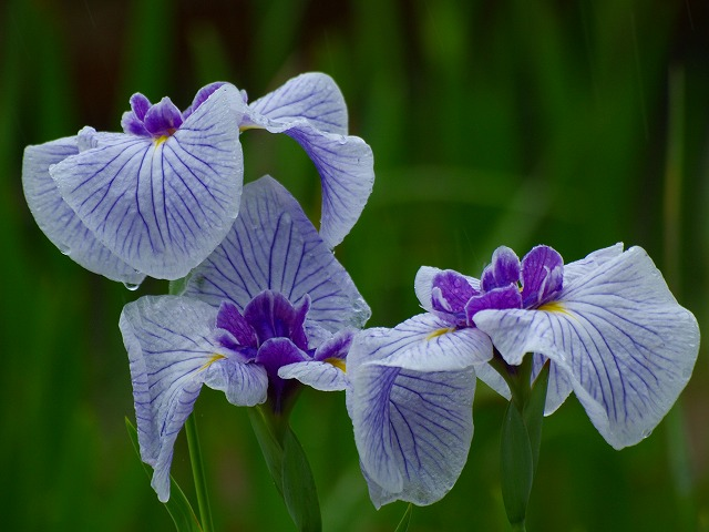 雨の花ショウブ6
