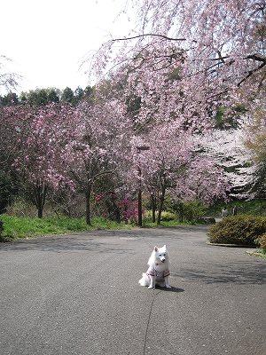 枝垂れ桜の道