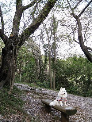 地面の白は桜の花びら