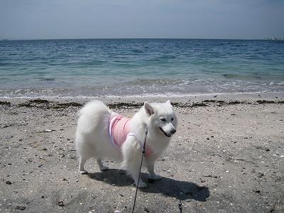 飼い主はビーチコに励む