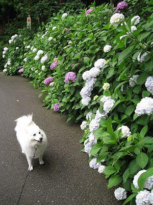 やっぱり今は紫陽花