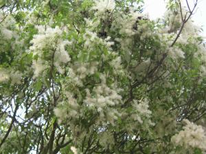 フワフワの花