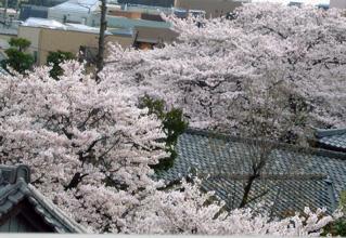 terasakura.jpg