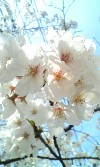 桜No.1