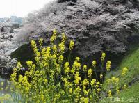 皇居のサクラと菜の花