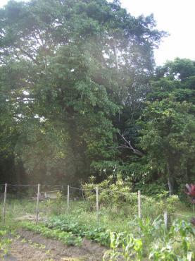 庭のアコウ2