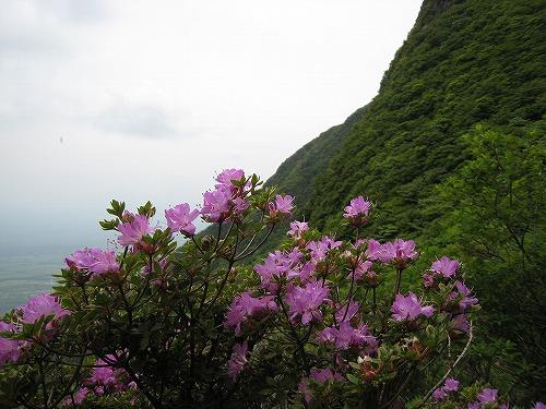 37 南斜面のミヤマキリシマ