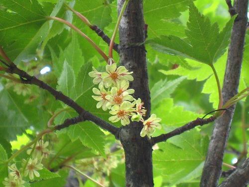 97 モミジの花