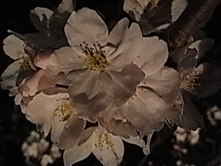 夜桜@小田原2