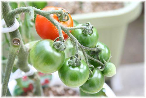 7.8 のトマト