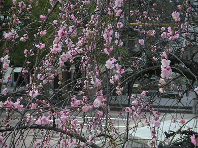きれいな梅が咲いてます。