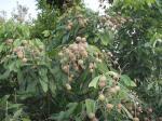 ラムヤイの木。