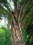 パーム椰子。